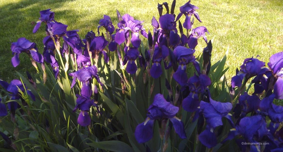 Iris - zeita greaca a curcubeului din gradina ta
