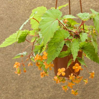 Begonia sutherlandii / Sursa - By Peter coxhead - Own work, CC BY-SA 4.0, https://commons.wikimedia.org/w/index.php?curid=42047626