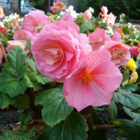 Begonia x tuberhybrida / Sursa - CC BY-SA 3.0, https://commons.wikimedia.org/w/index.php?curid=391152