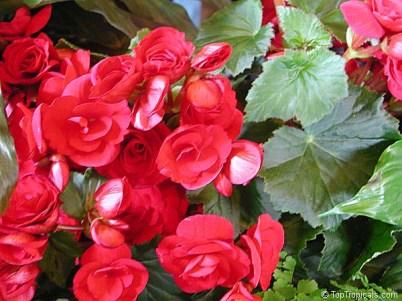 Begonia x hiemalis elatior / https://toptropicals.com/catalog/uid/Begonia_hiemalis.htm