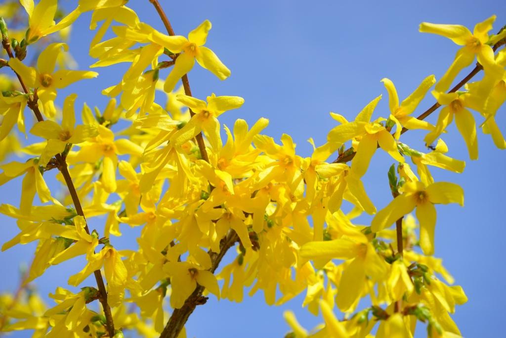 Forsythia, arbustul decorativ, vestitor al Sărbătorilor Pascale