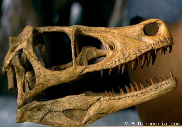 Crâne Velociraptor
