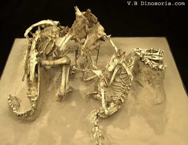 Combat Velociraptor et Protoceratops