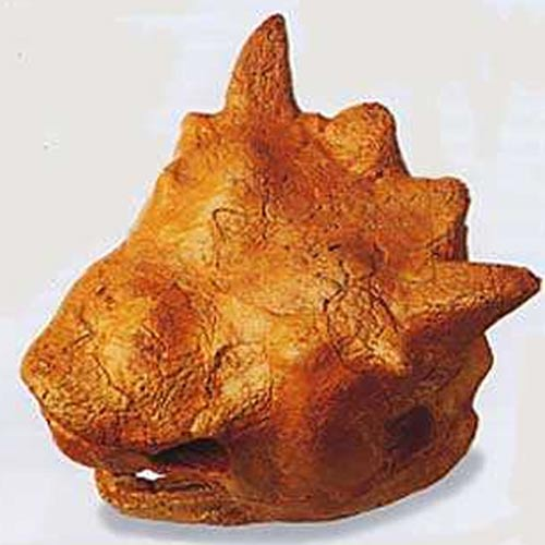 Crâne de Meiolaniidé