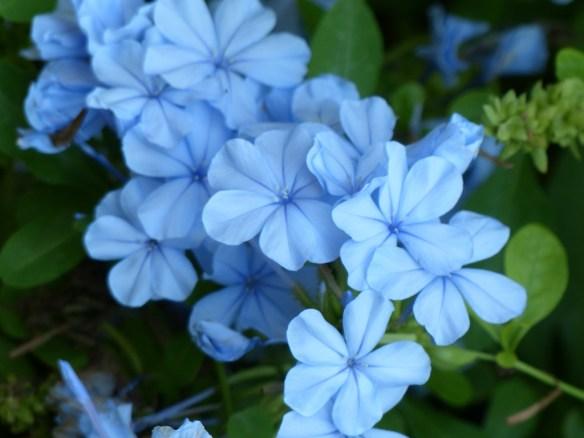 jazmin azul