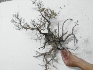 creare alberi di ulivo per il presepe