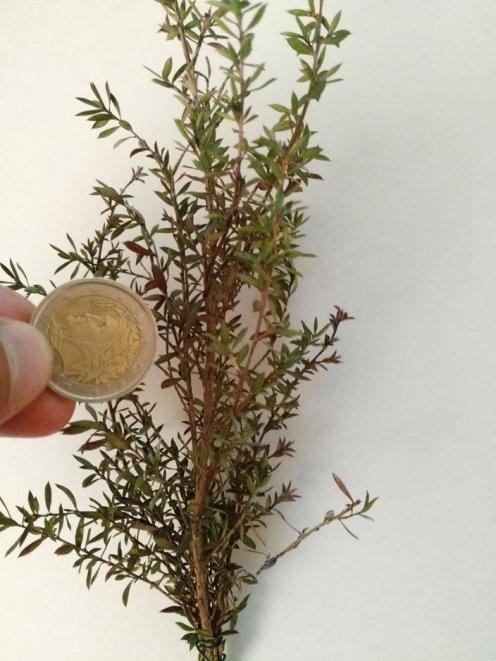 pianta con ramo a foglie piccole