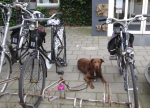 trouwehond
