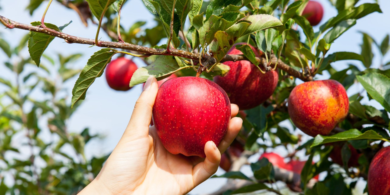 Tips & Tricks for Apple Picking