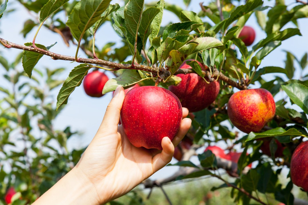 Fall is apple picking time at Mercier Orchards and Mountain View Orchards
