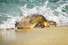 Caretta Caretta and Green turtles visit Northern Cyprus