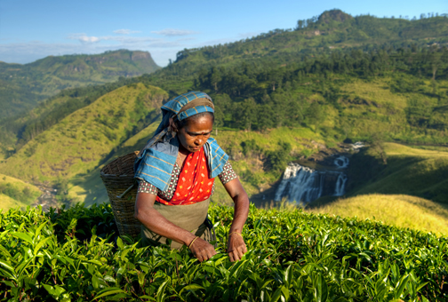 Indigenous Sri Lankan Tea Picker Picking Leaves