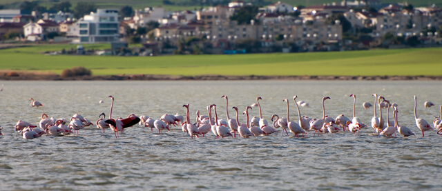 Flamingo Birds On A Lake Larnaca, Cyprus