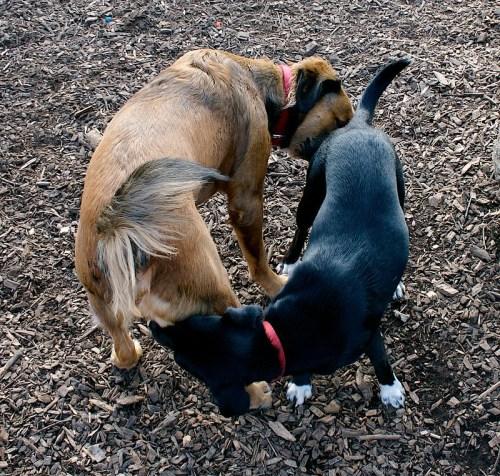 I cani odorano la zona anale di un loro simile per raccogliere informazioni riguardo il loro stato emotivo, la comunicazione è di natura chimica e i responsabili sono i feromoni