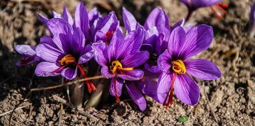 Lo zafferano si ottiene dai pistilli di questo fiore