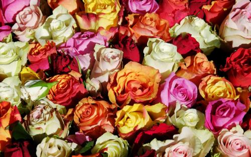 Oggi esistono rose di ogni colore, eccetto il blu