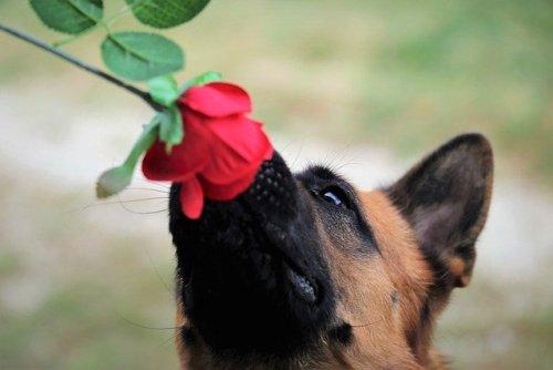 Il profumo di rosa è una caratteristica importante per fiore
