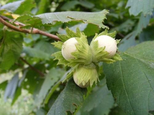 Le nocciole crescono su un arbusto tipico del sottobosco