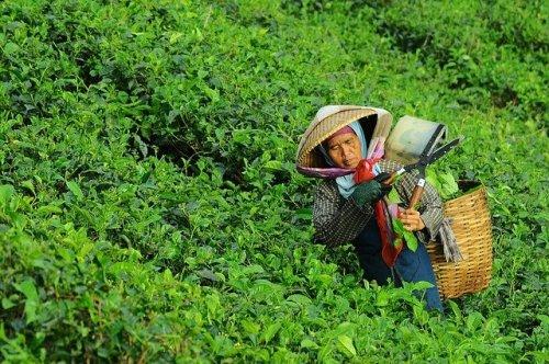 I tè verde e bianco sono sono delle varietà di tè che si ottengono dalle foglie più tenere