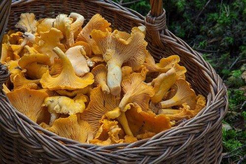 Nel cestino di vimini le spore dei funghi si disperdono