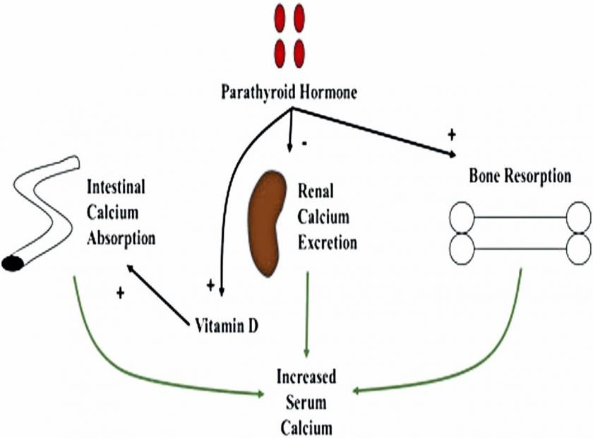 Parathyroid (PTH) Hormone Blood Test and Roles