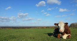 3-Cow-and-view-of-Surrey-Hills