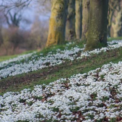 Brightwater Gardens snowdrop walk