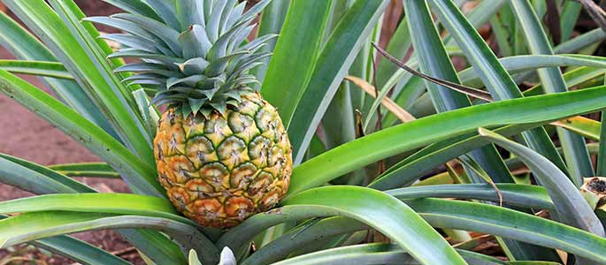 Visit Dole Pineapple Plantation