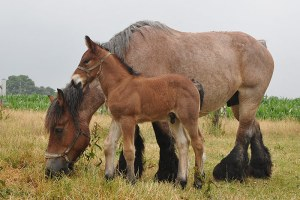Belgian draft horse and foal
