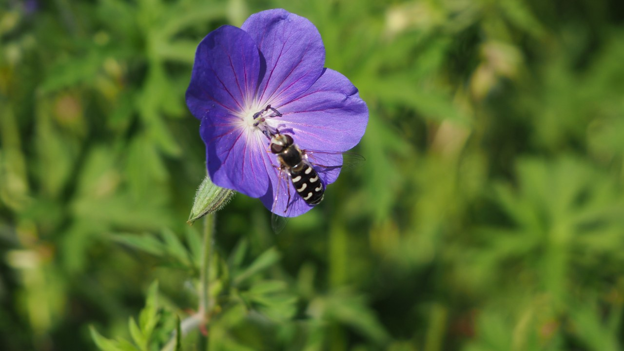 Cranesbill and bee