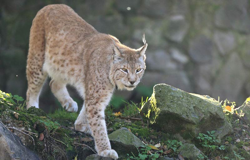 Macedonian-wild-cat1