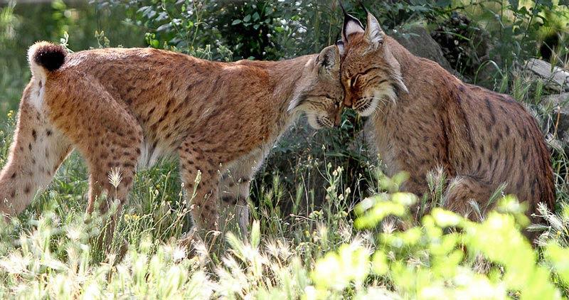 macedonian-wild-cat
