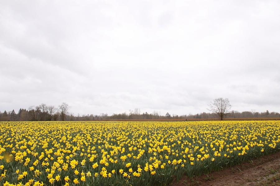 daffodils_12