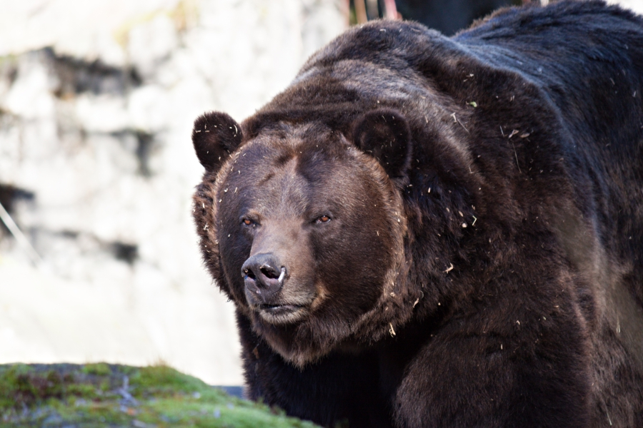 Family Day: Woodland Park Zoo, a close up portrait of a brown bear