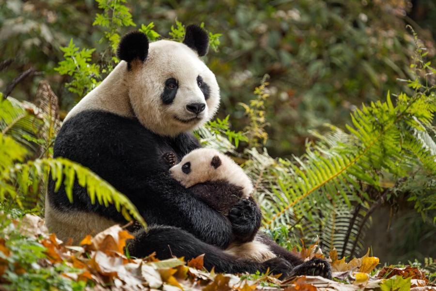 Character: YaYa and MeiMei - Pandas