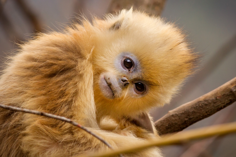 Character: TaoTao - Golden snub-nosed monkeys
