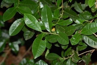 Camellia sinensis, Tea, branching