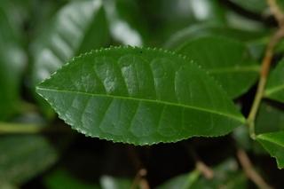Camellia sinensis, Tea, leaf upper