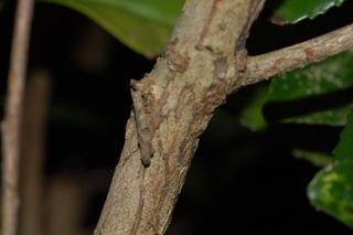 Camellia sinensis, Tea, stem