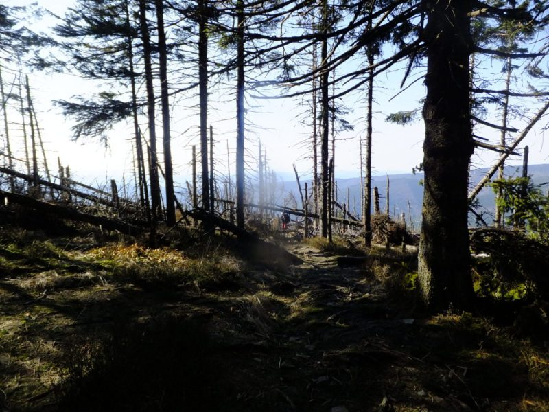 Emerging from the forest on to the Southern slopes. Hiking trips in the Czech Republic - Smrk (Spruce Mountain)
