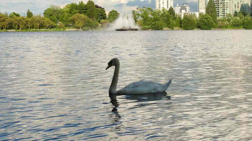 A swan swimming in Lost Lagoon in Stanley Park