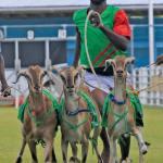 Goat racing in Buccoo, Tobago on Easter weekend. Photo: Edison Boodoosingh