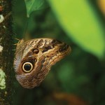 The owl butterfly deflects predators by mimicking the head of a lizard. Photographer: Brian Kinzie
