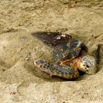 A critically endangered hawksbill turtle camouflages her nest after laying eggs. Photographer: Giancarlo Lalsingh/SOS Tobago