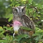 A pygmy owl. Photographer: Martin Farinha