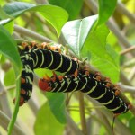 Caterpillar at Botanical Gardens. Photographer: Caroline Neisha Taylor