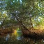 The Caroni Swamp, Trinidad. Photo: Chris Anderson