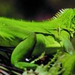 An iguana (Trinidad & Tobago). Photo: Mark Meredith