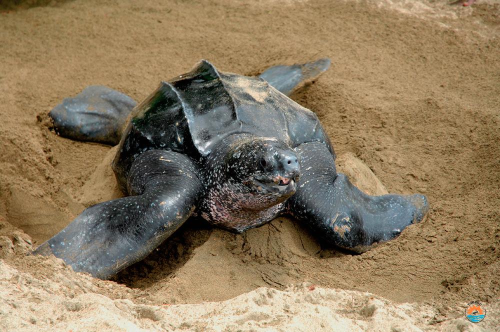 Leatherback Turtle Tobago