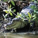 A caiman. Photo by Stephen Broadbridge